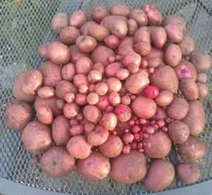 second early red potatoes