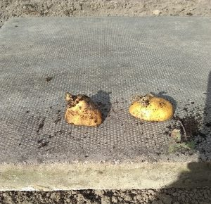 an oridnary potato about to be used to seed potato plants