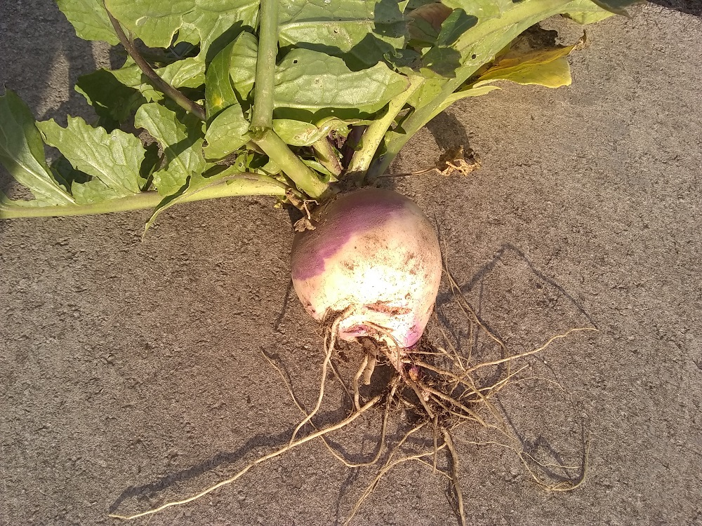 this is a small turnip