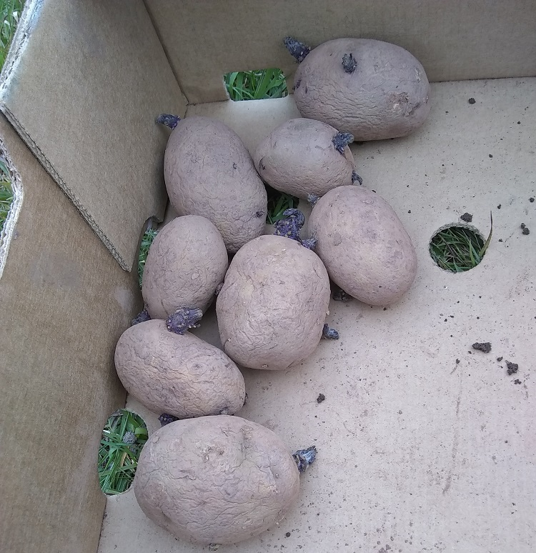 chitted second early seed potatoes