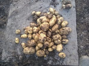 crop from second row of potato plants