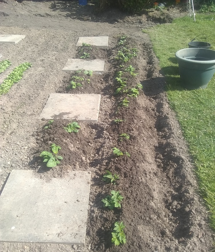 earthed up potato plants