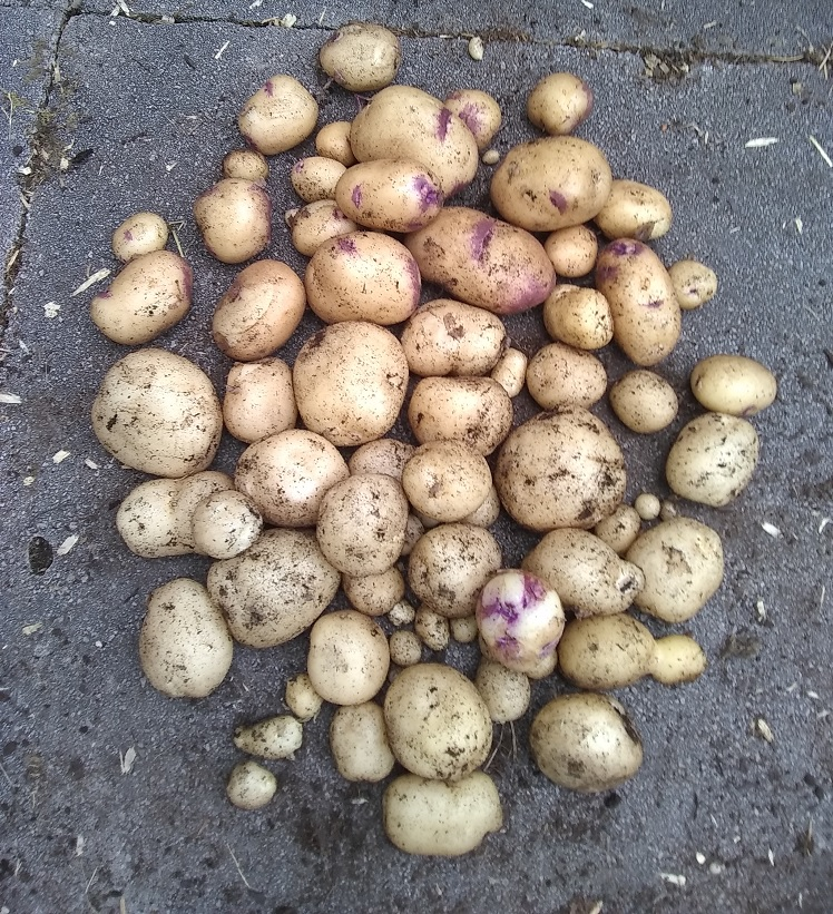 our first potato crop