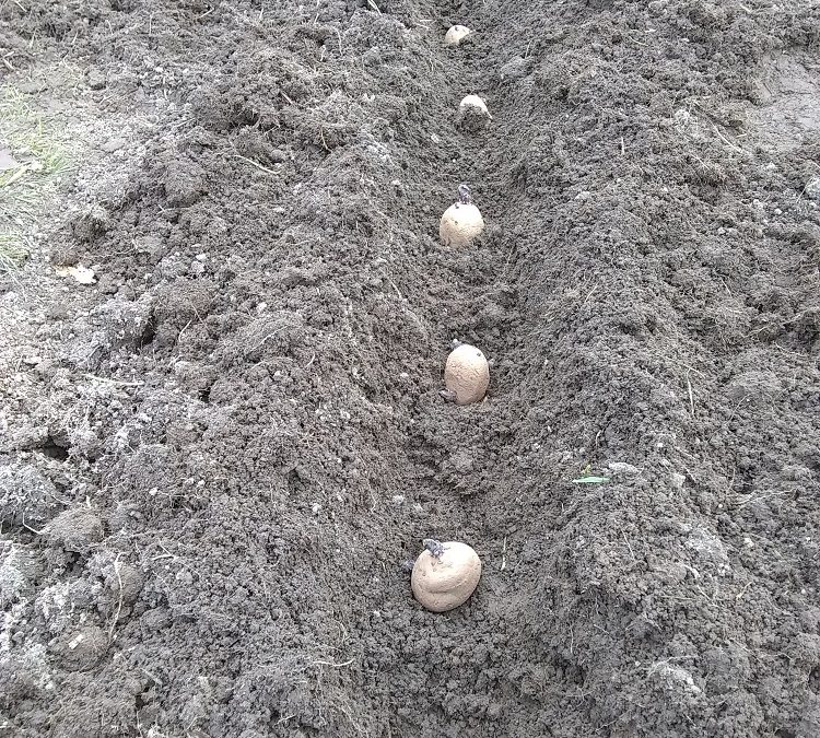 Growing Potatoes in Beds