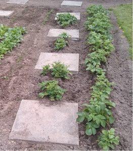 the potato plants recovered