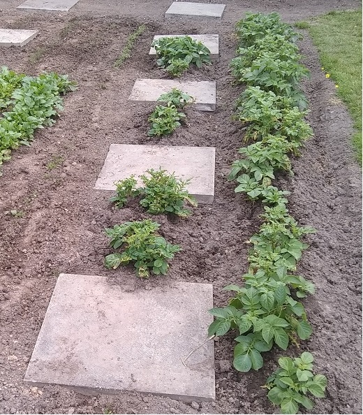 the potato plants recovered