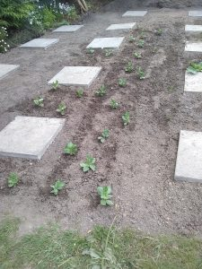broad bean plants starting to grow
