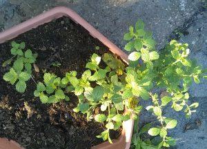 a lemon balm plant
