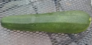 our second courgette