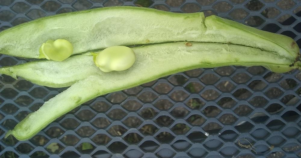 inside a broad bean pod