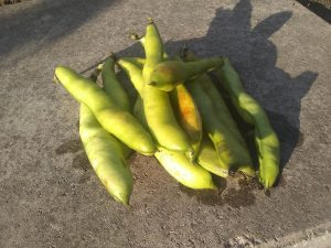 some broad bean pods
