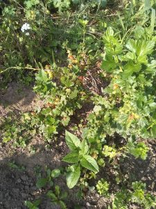 gooseberry plants